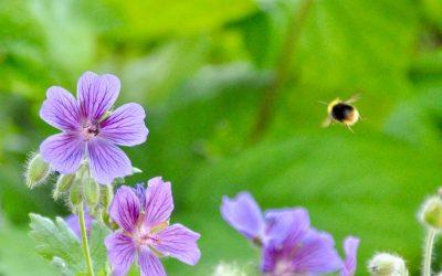 Das Leben der Bienen (und Hummeln) ist für alle wichtig